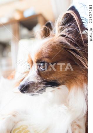 パピヨン犬 21857261