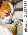パピヨン 犬 哺乳類の写真 21857262