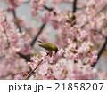 桜とメジロ 21858207