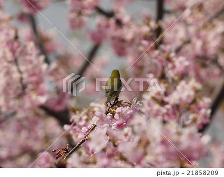 桜とメジロ 21858209