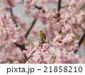 桜とメジロ 21858210