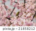 桜とメジロ 21858212