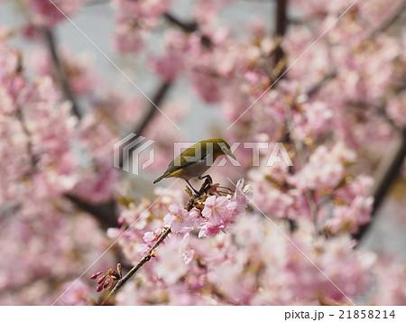 桜とメジロ 21858214