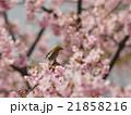 桜とメジロ 21858216