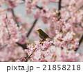桜とメジロ 21858218