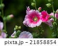 タチアオイ 立葵 あおいの写真 21858854