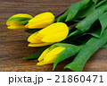 Beautiful Yellow tulips on Wood Background 21860471