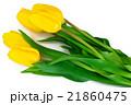 Beautiful Yellow tulips Isolated 21860475