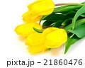 Beautiful Yellow tulips Isolated 21860476