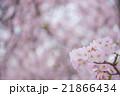 満開のソメイヨシノ perming  M 季節の花写真素材 21866434