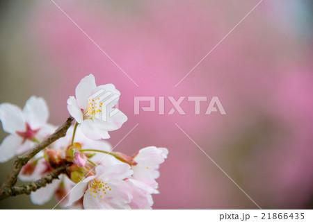 満開のソメイヨシノ perming  M 季節の花写真素材 21866435