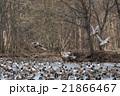 カモの群れ (旭川市) 21866467