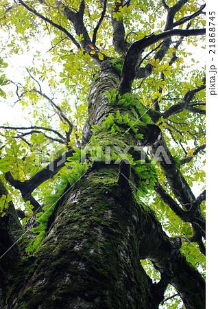 ブナの木とブナの木に生えるシダ植物 21868745