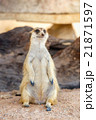 Portrait of meerkat on the rock with nature frame 21871597