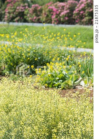 春暖の野菜畑の写真素材 [218753...