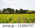 菜の花 21884757