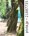 巨木 苔 植物の写真 21887735