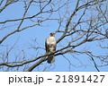 ノスリ 鳥 鳥類の写真 21891427