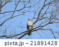ノスリ 鳥 鳥類の写真 21891428