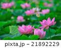 蓮 大賀蓮 花の写真 21892229