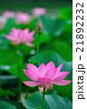 蓮 大賀蓮 花の写真 21892232