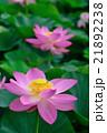 蓮 大賀蓮 花の写真 21892238