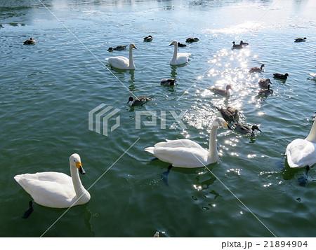 池に遊ぶ白鳥たち 21894904