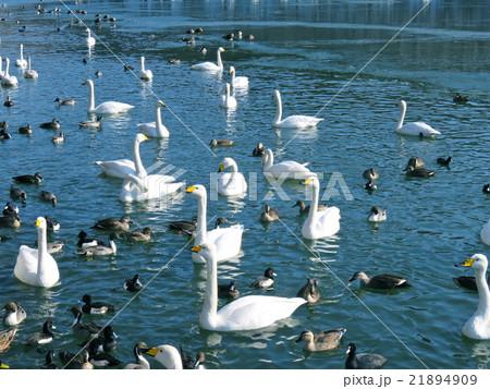 池を泳ぐ白鳥と鴨 21894909