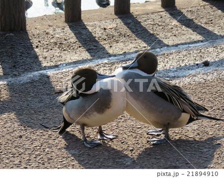 胸をくっつけあう水鳥 21894910