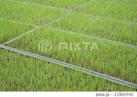 稲(マンゲツモチ)の苗(種まき後8日目)3 21902442