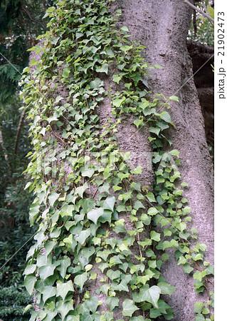 蔦の這う木の幹 21902473