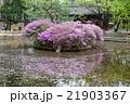 韓国旅行・景福宮のツツジ 21903367