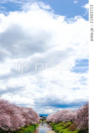 日本の花、桜並木と河川に菜の花が咲いている 21903715