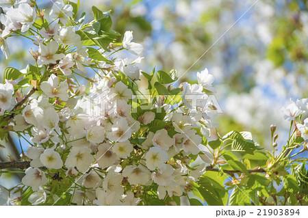 葉桜 21903894