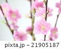 桃の花 21905187