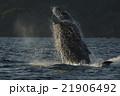 ジャンプする小笠原のザトウクジラ 21906492