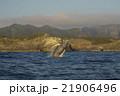 ブリーチングする小笠原のザトウクジラ 21906496