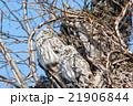 エゾフクロウのつがい 21906844