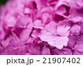 紫陽花 21907402