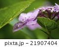 紫陽花 21907404