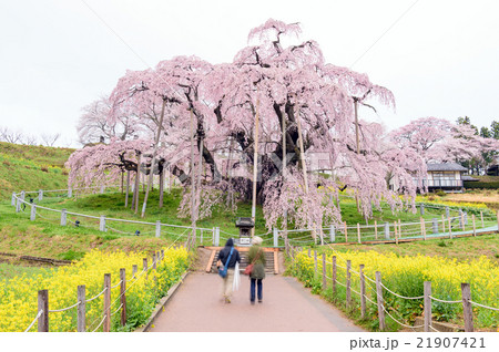 朝の滝桜 三春町 福島県   21907421
