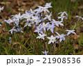 花韮 ハナニラ属 イフェイオンの写真 21908536