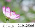 コスモスてんとう 21912506