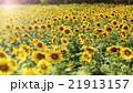 ひまわり 向日葵 フラワーの写真 21913157