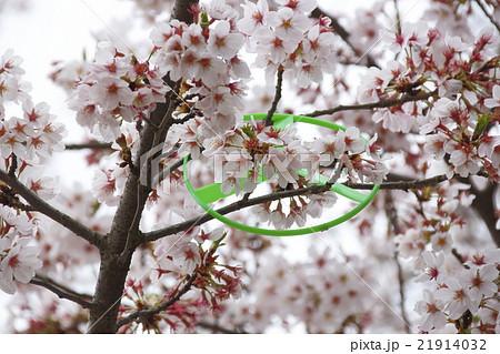 サクラの木に引っかかった玩具ブーメラン 21914032