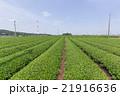 茶畑 畑 狭山丘陵の写真 21916636