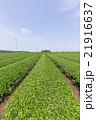 茶畑 畑 狭山丘陵の写真 21916637