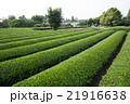 茶畑 畑 狭山丘陵の写真 21916638