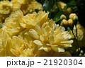 モッコウバラの花 21920304