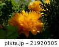 八重咲き ヤマブキ 21920305